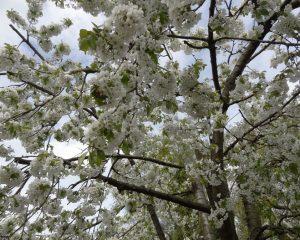bloesem-kersenboom